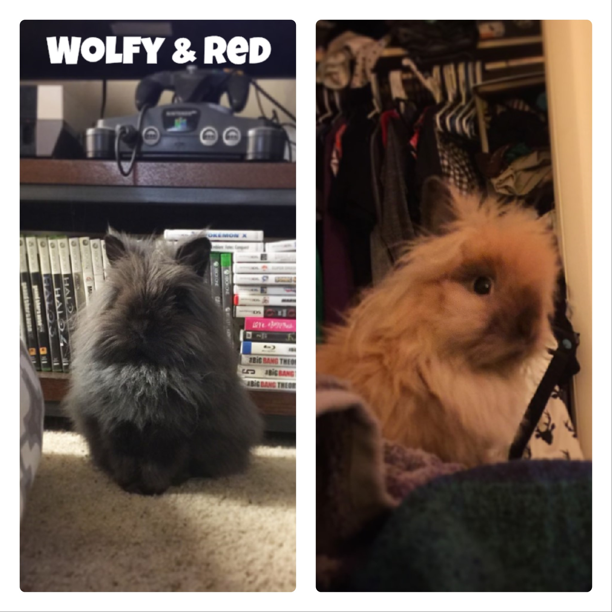 wolfy and red