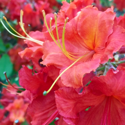 A little spring inspiration from the Atlanta Botanical Gardens: Flame Azalea