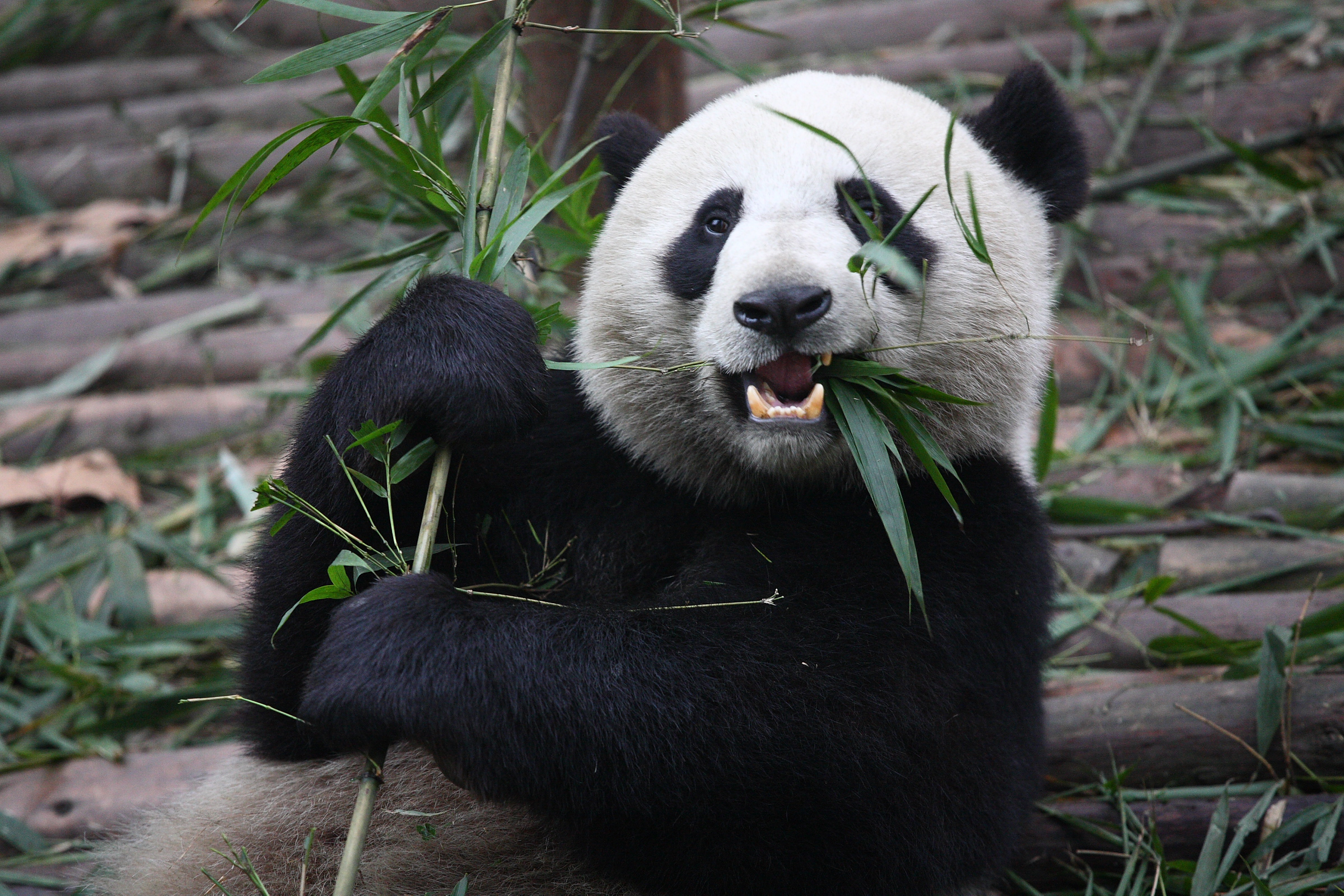 As much as 99% of a Panda's diet is Bamboo.