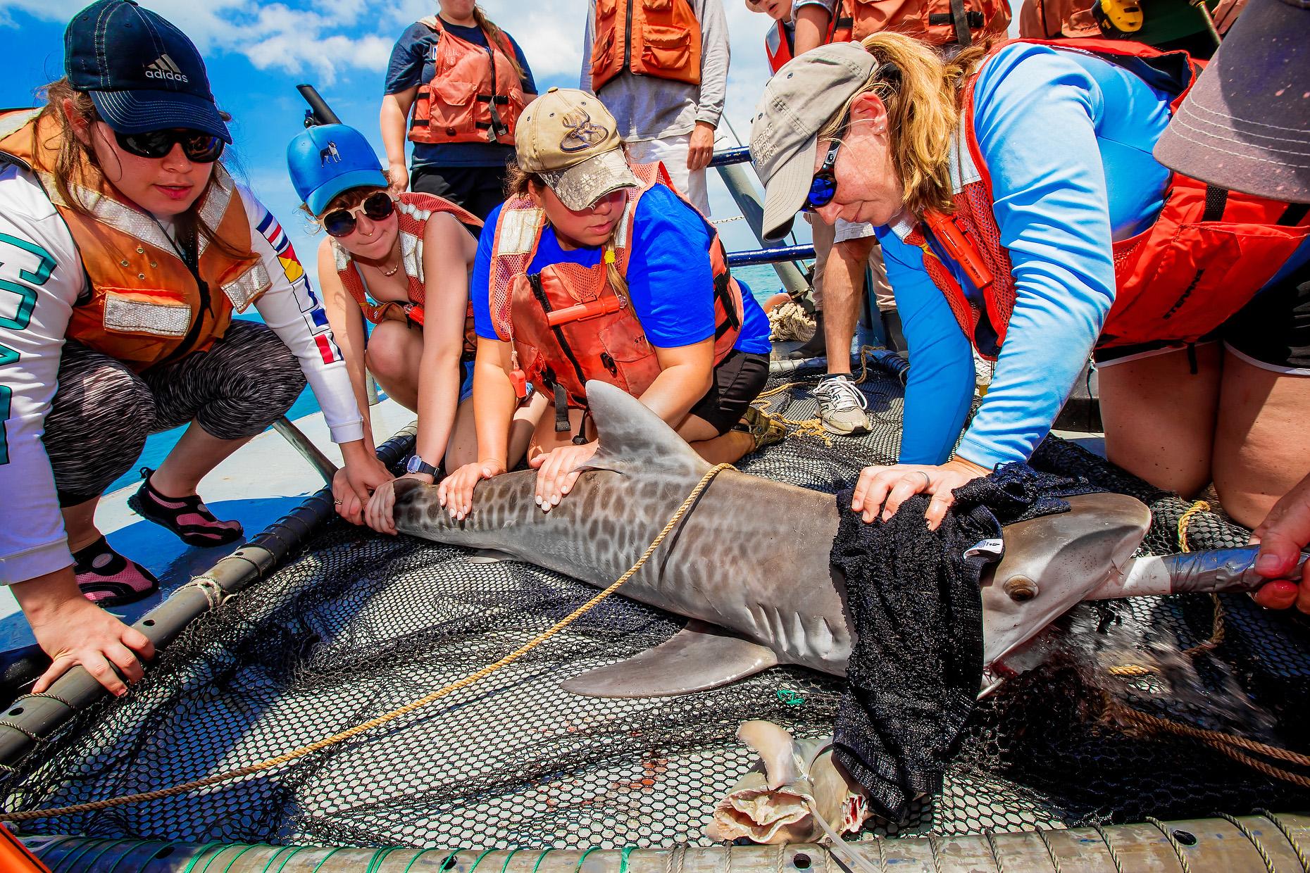 NEW COLLEGE OF FLORIDA SHARK MARINE BIOLOGY 0004.JPG