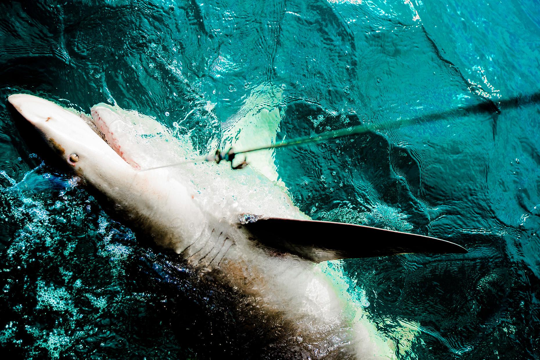 NEW COLLEGE OF FLORIDA SHARK MARINE BIOLOGY 0006.JPG