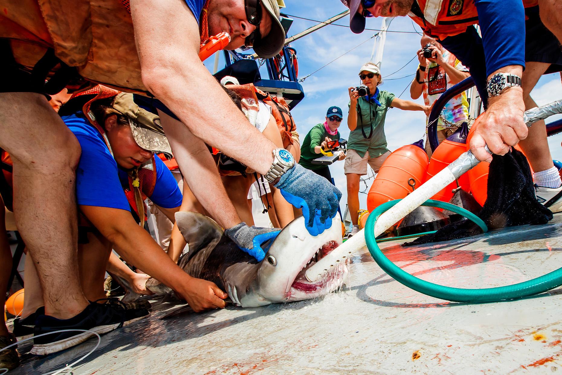 NEW COLLEGE OF FLORIDA SHARK MARINE BIOLOGY 0020.JPG