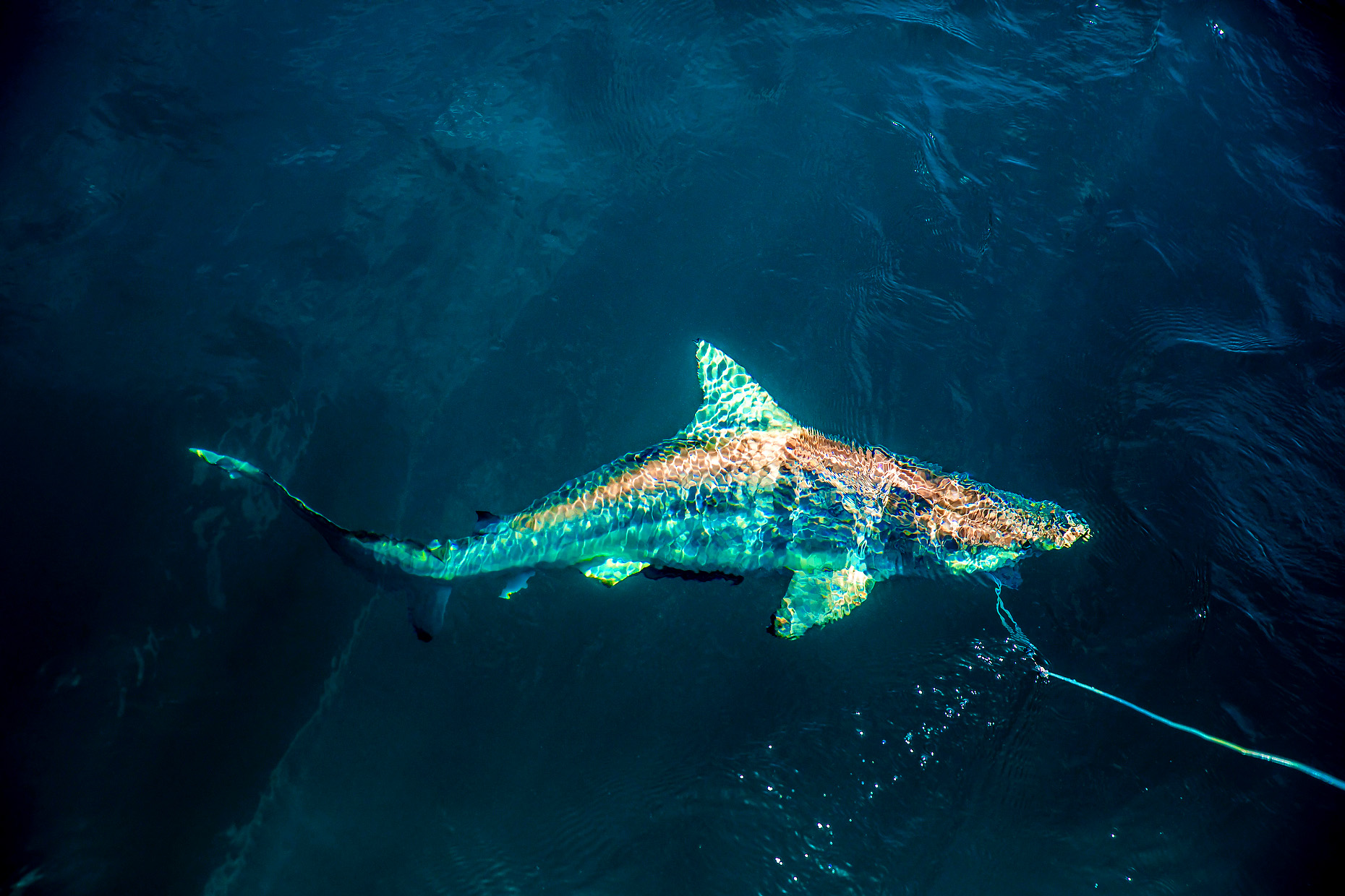 NEW COLLEGE OF FLORIDA SHARK MARINE BIOLOGY 0024.JPG