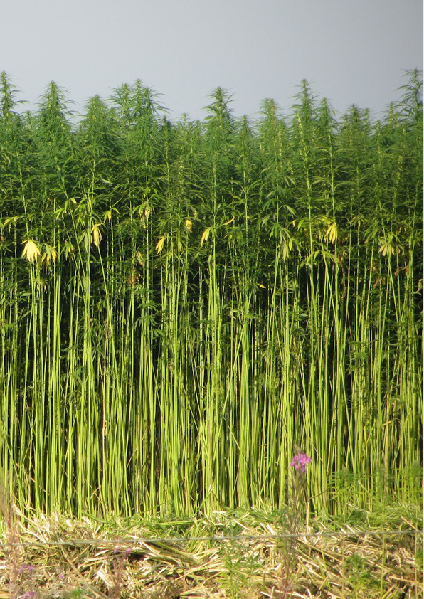 Hemp-Research-pages15.jpg
