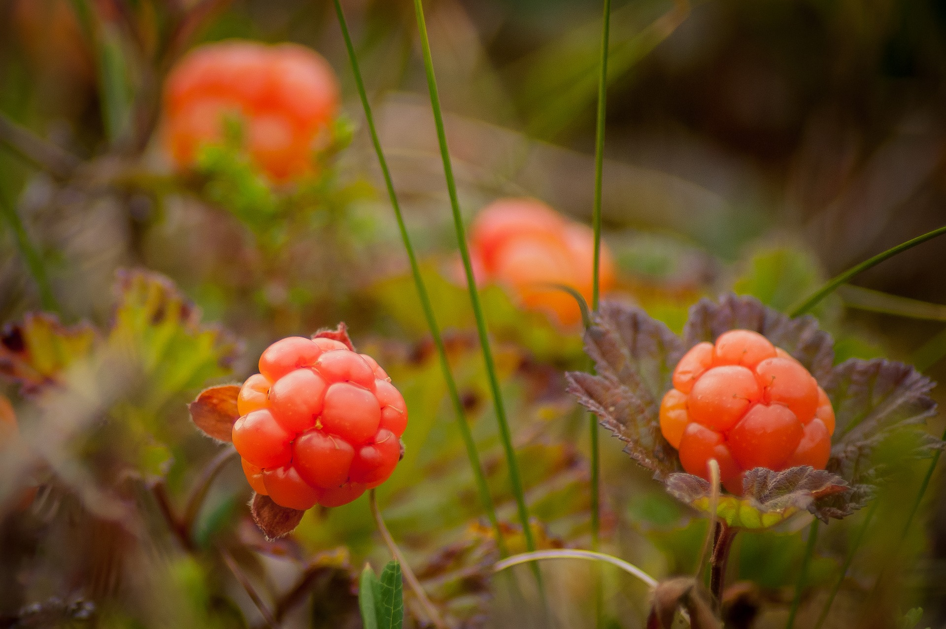 cloudberry-bush-produces-2130046_1920.jpg
