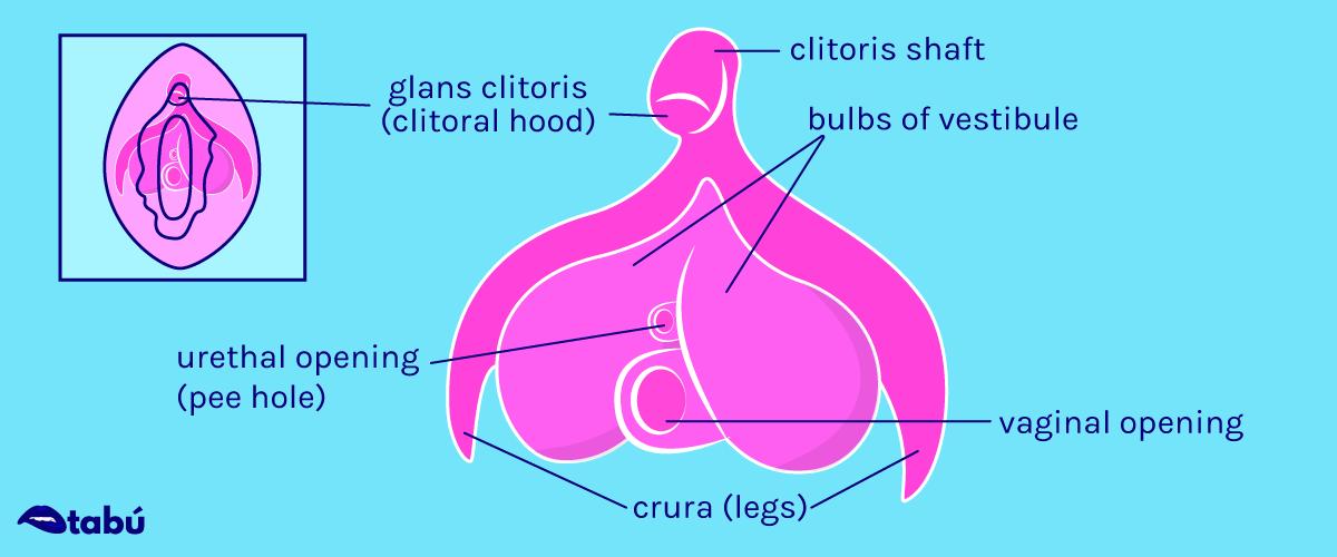 Clitoris Illustration by Marcy Gooberman