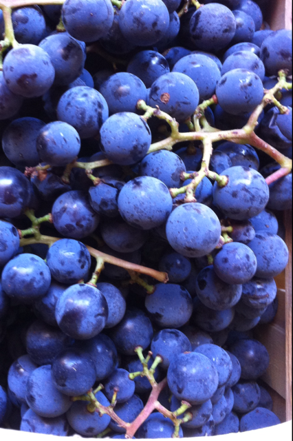 Concord Grapes.PNG