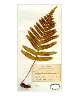 California Polypod fern (Polypodium californicum)   [Digitally restored scans of John Muir's original plant specimens]