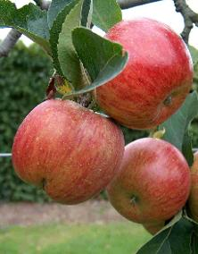 apple_trio.jpg.opt222x284o0,0s222x284.jpg
