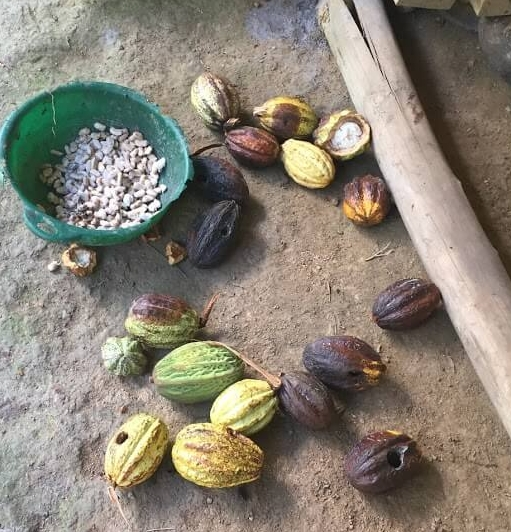 Here is the cacao fruit. When it is peeled the beans come out white as seen in the basket.