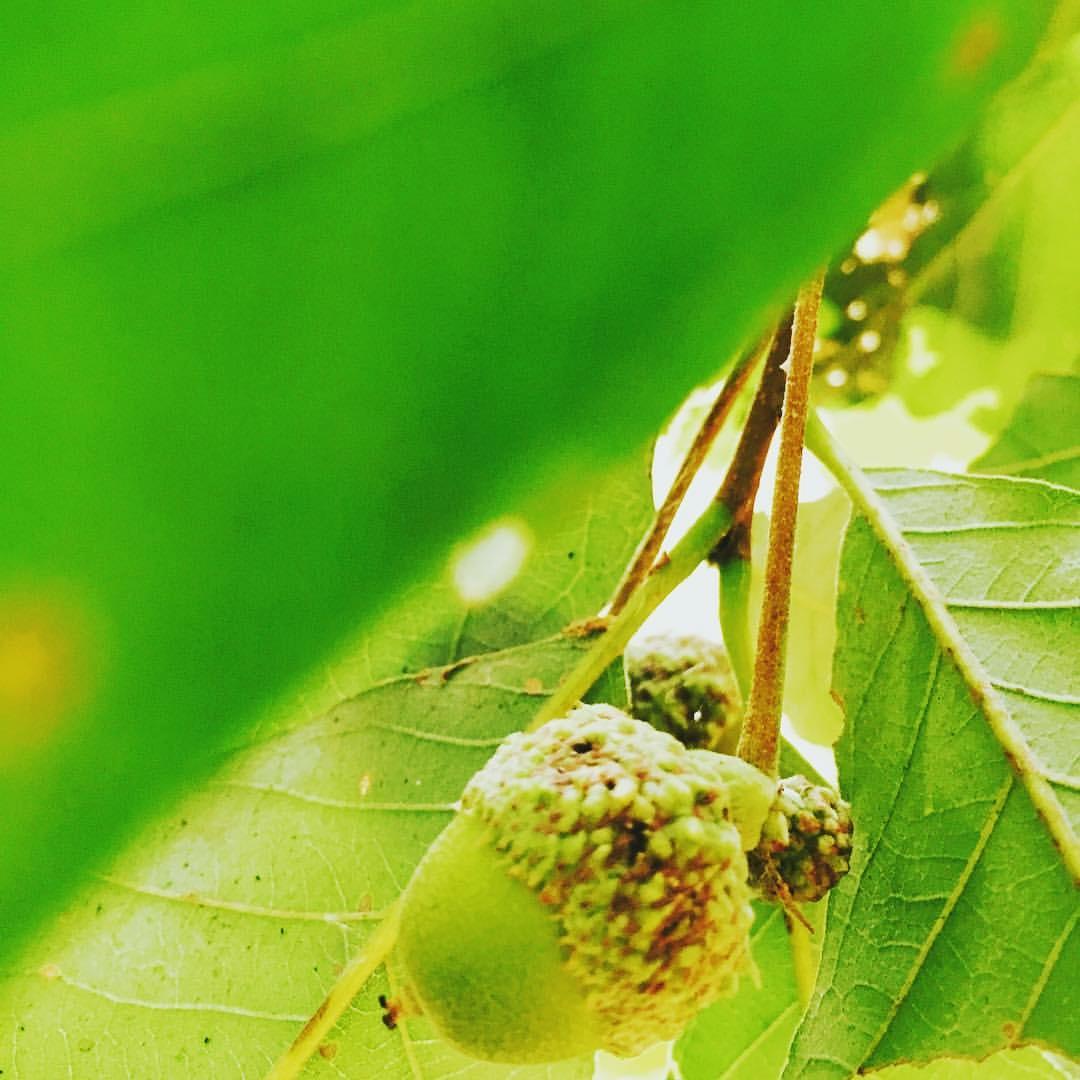 Fruit of the oak