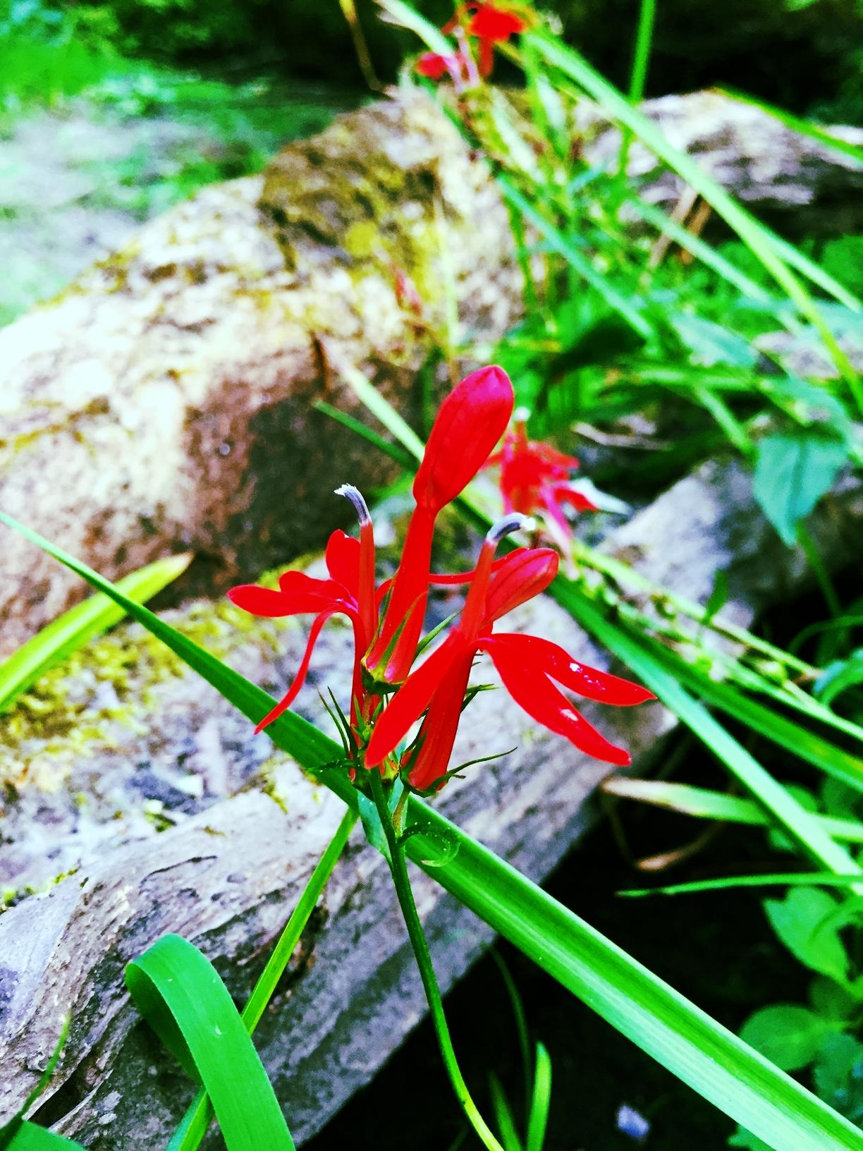 Cardinal Flower in Dry Brook, Charles River Woods