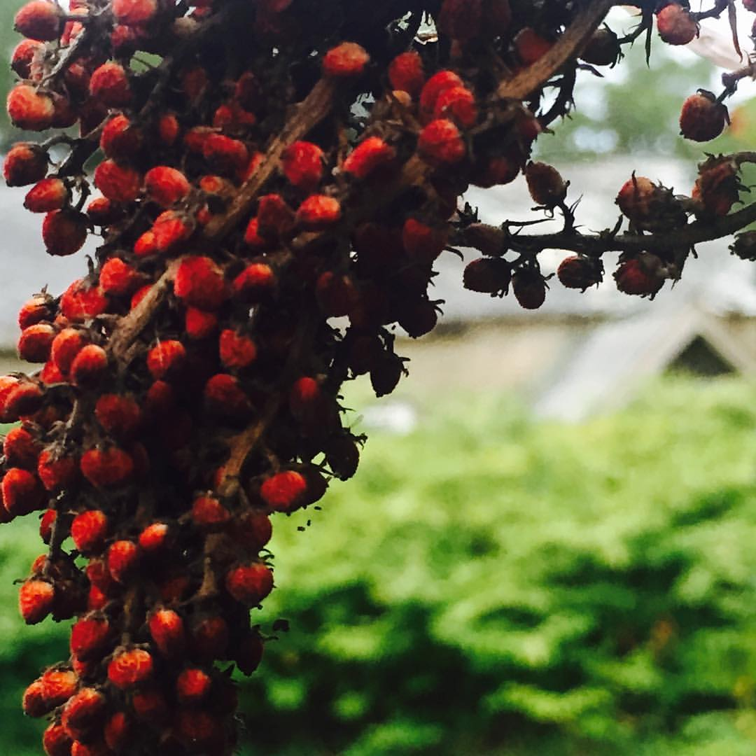 Smooth Sumac, Old State Mental Hospital Grounds