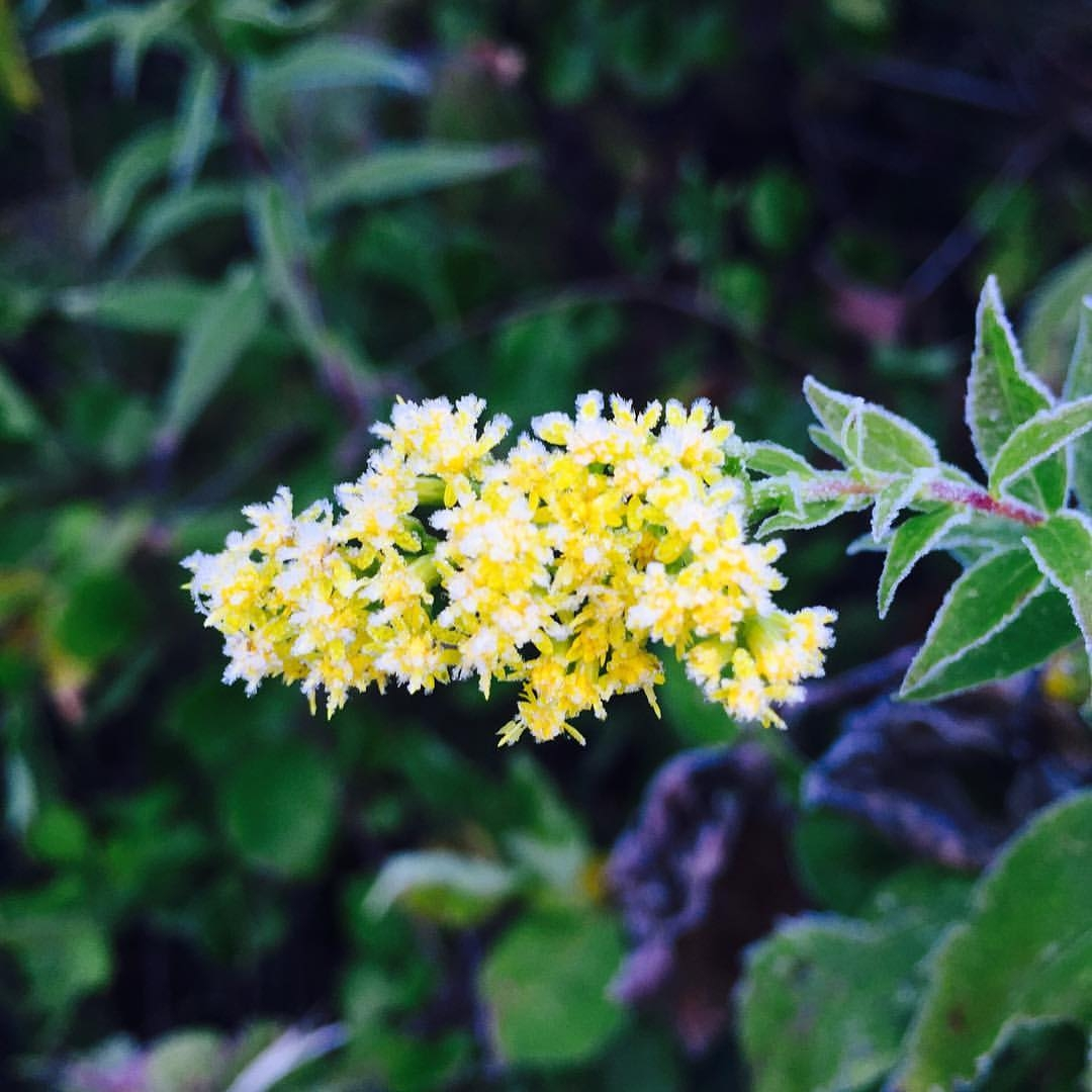 Frost on Showy Goldenrod