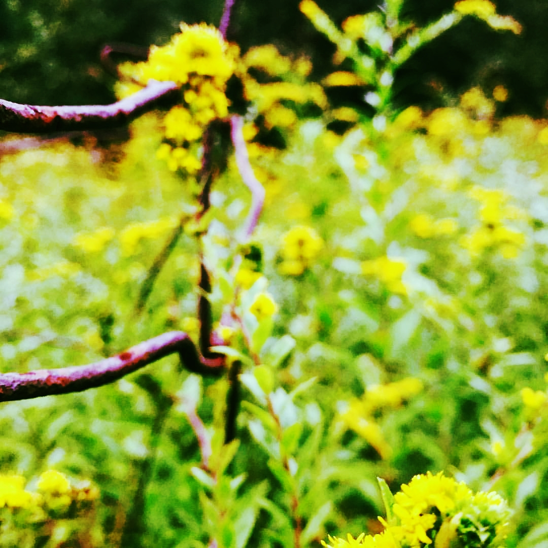 Goldenrod and Barbed Wire in Meadow