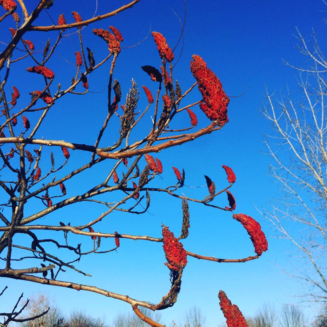 Red Sumac on Blue November Sky