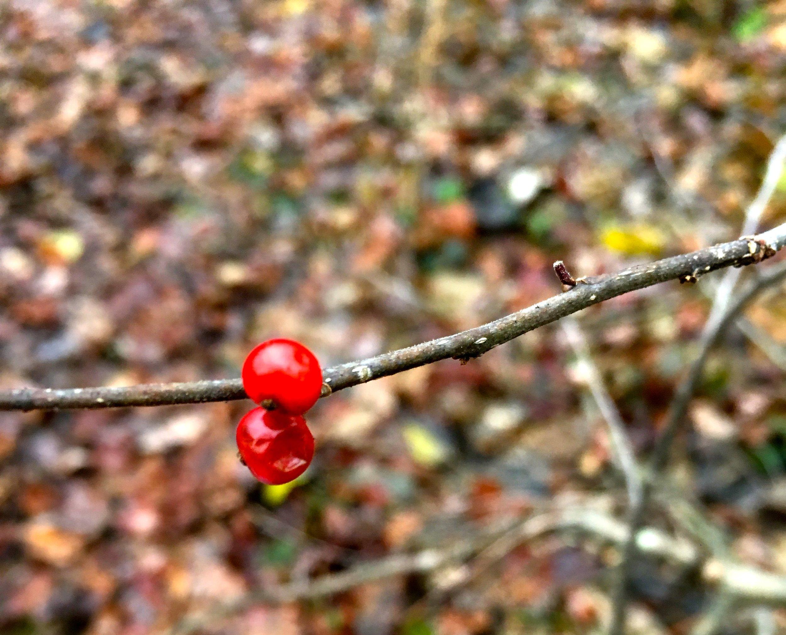 Berries in November, Charles River Woods, Photo by Franci DuMar