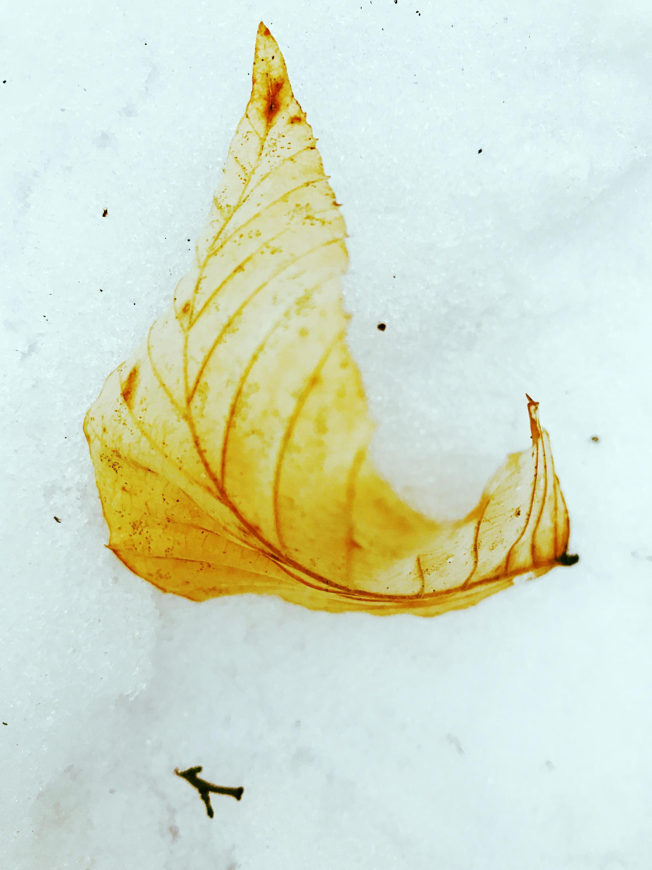 Beech Leaf on Snow