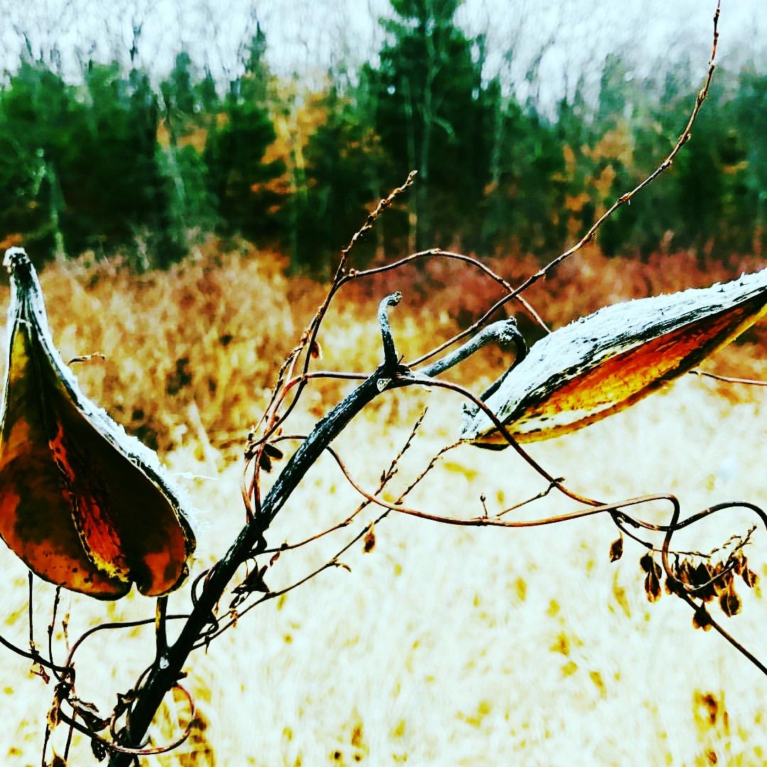 Milkweed Morning Meadow, Christmas Eve