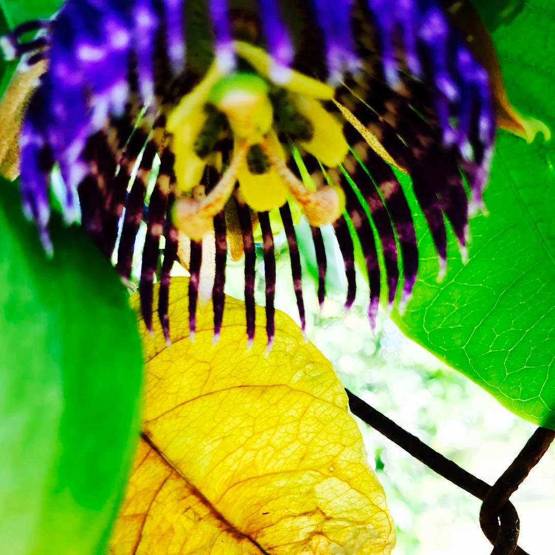 Purple Passion Flower -Passiflora triloba