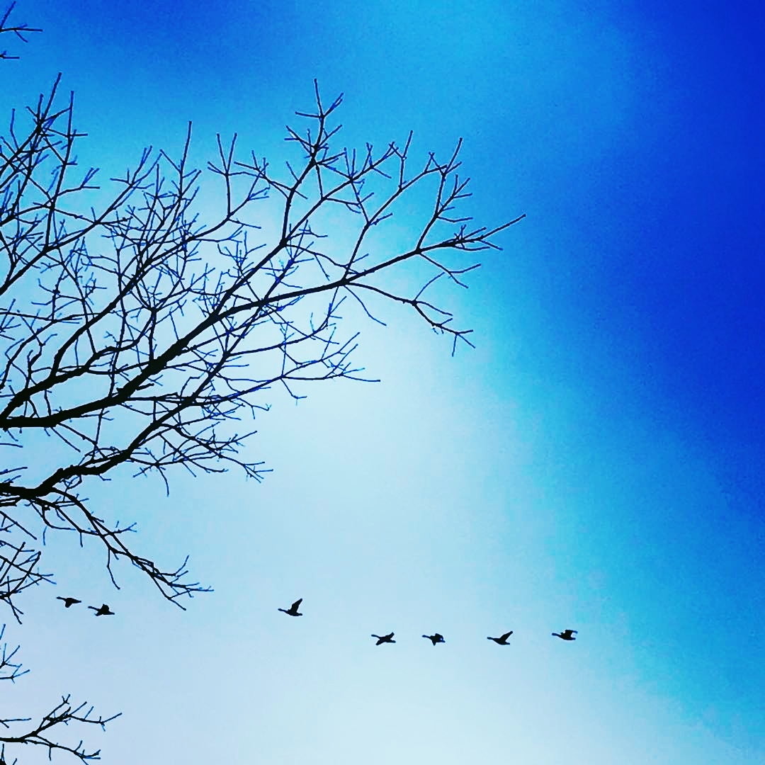 Wild Geese over the Charles River
