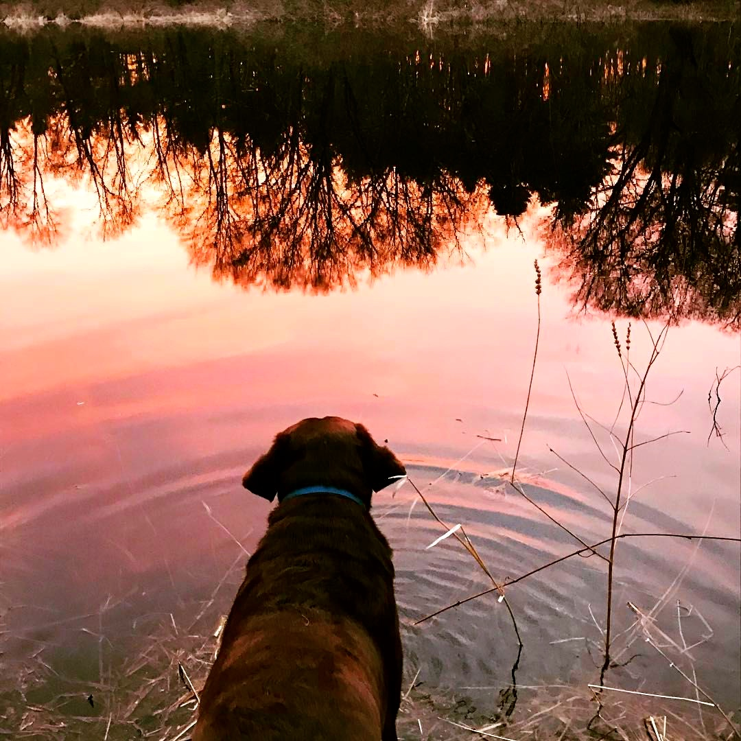 Charlie in the red river dawn on the Charles