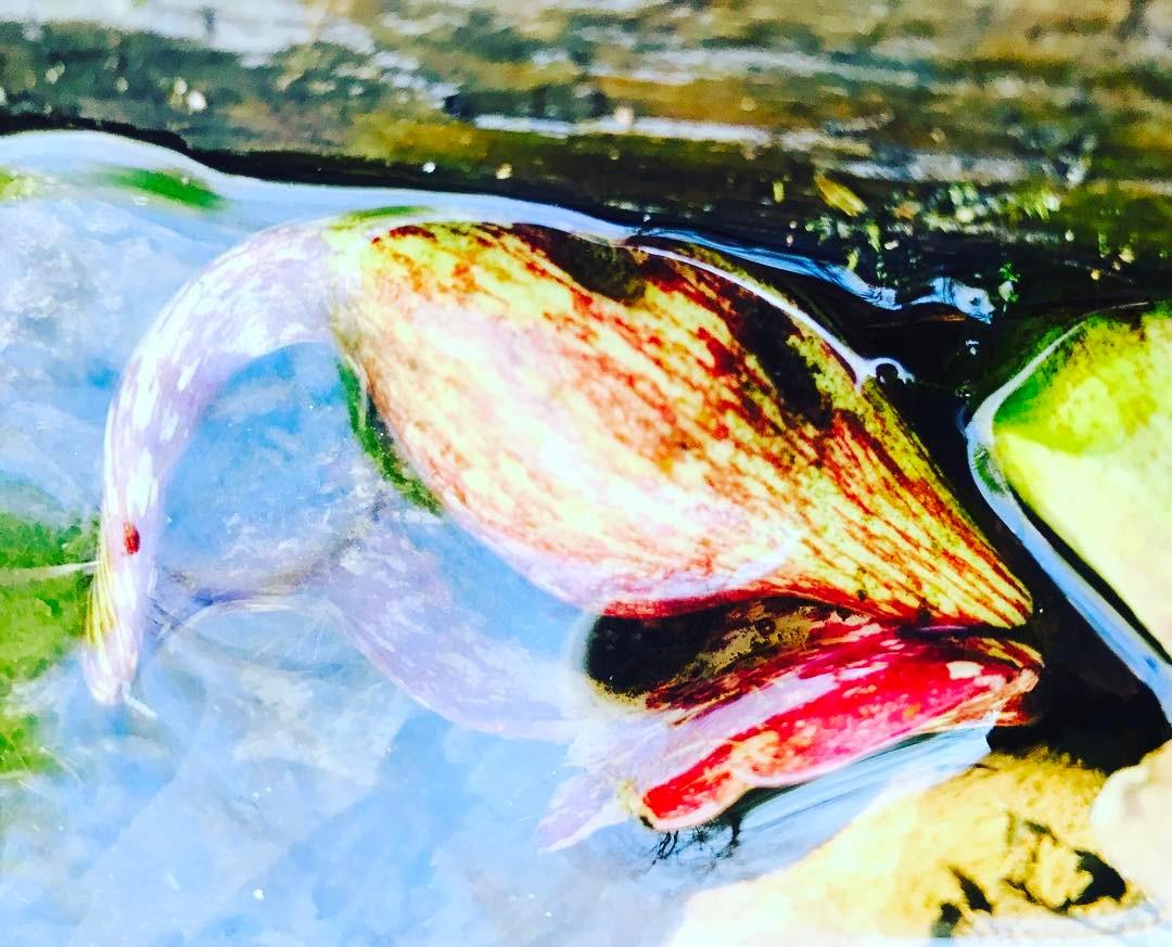 cabbabe submerged.jpg