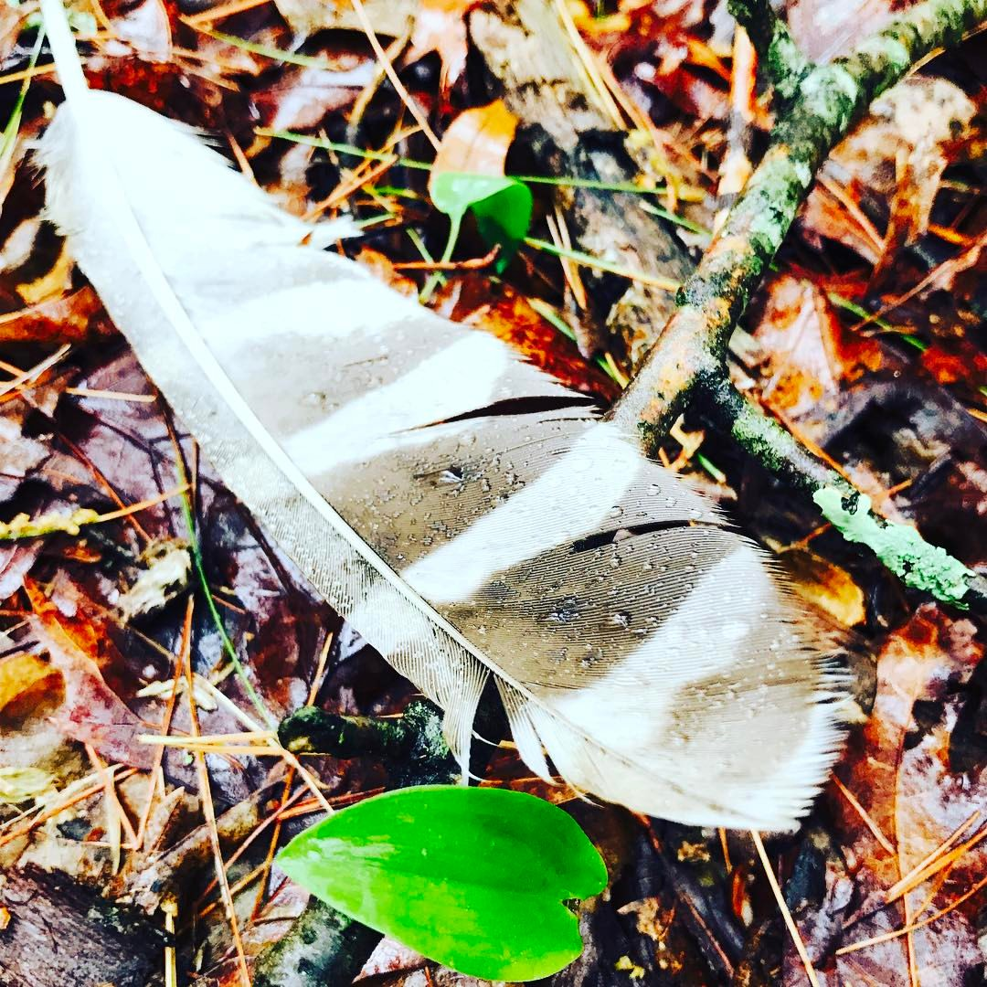 Barred Owl Feather