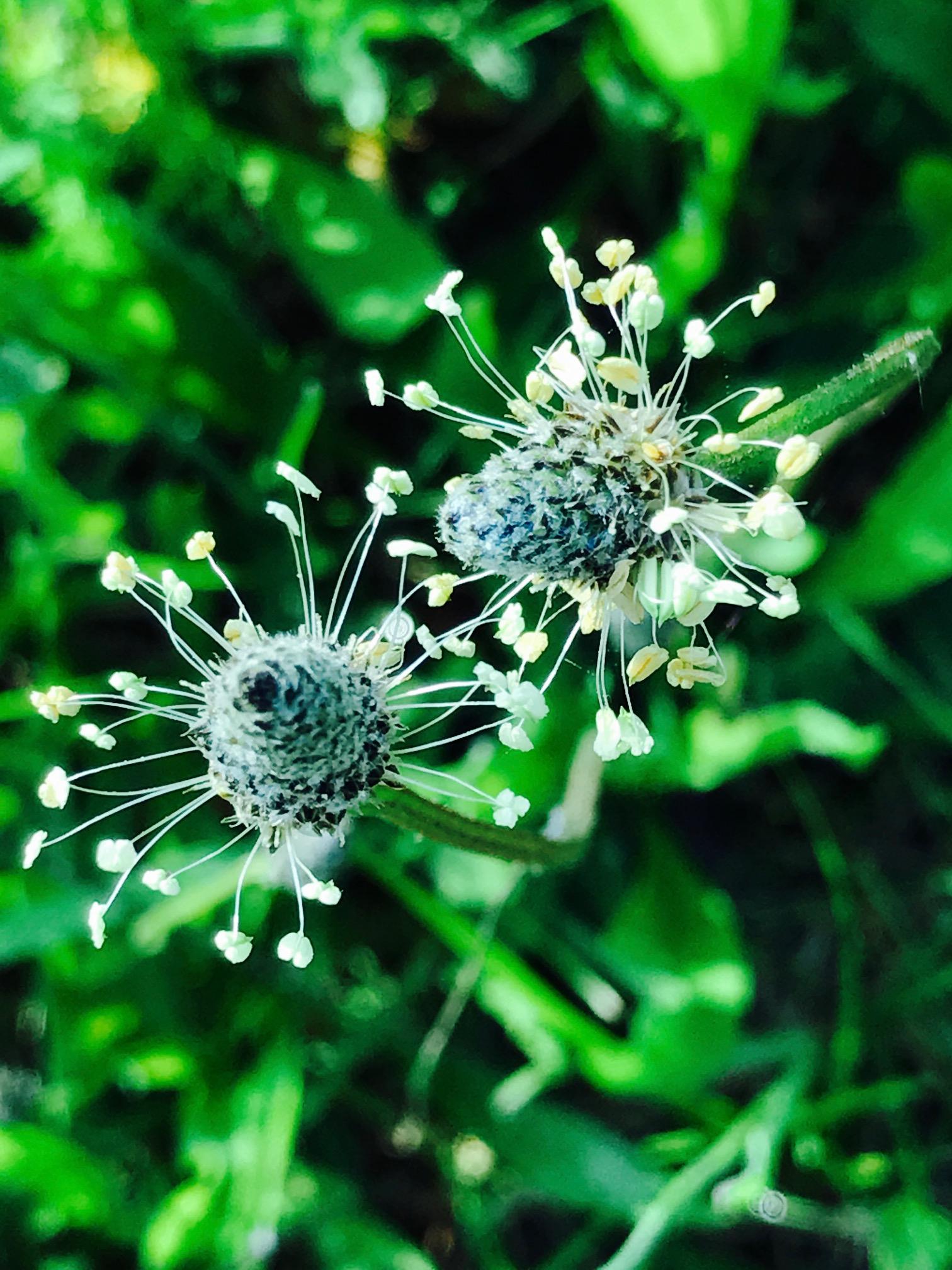 English Plantain, narrowleaf, lamb's tongue, ribleaf, ribwort