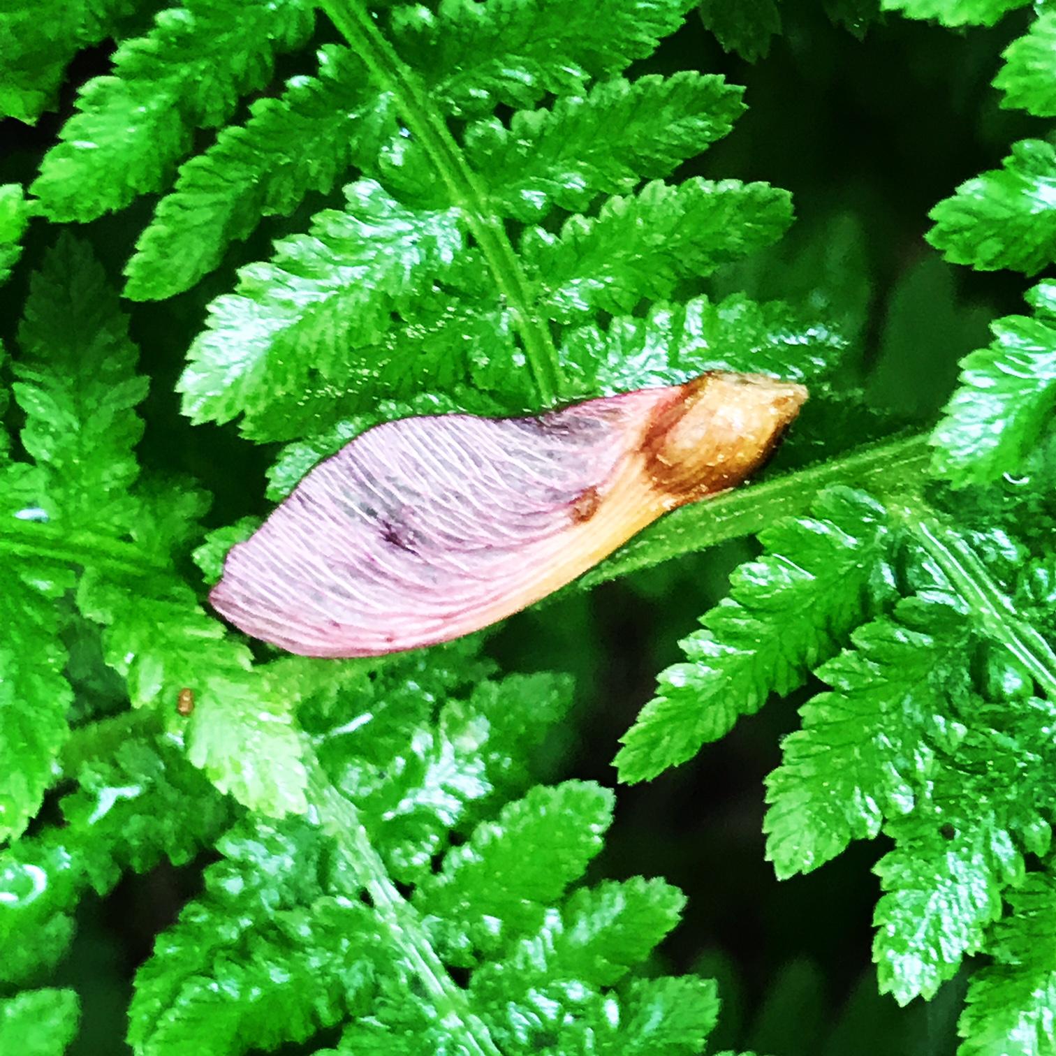 fern maple wing.JPG