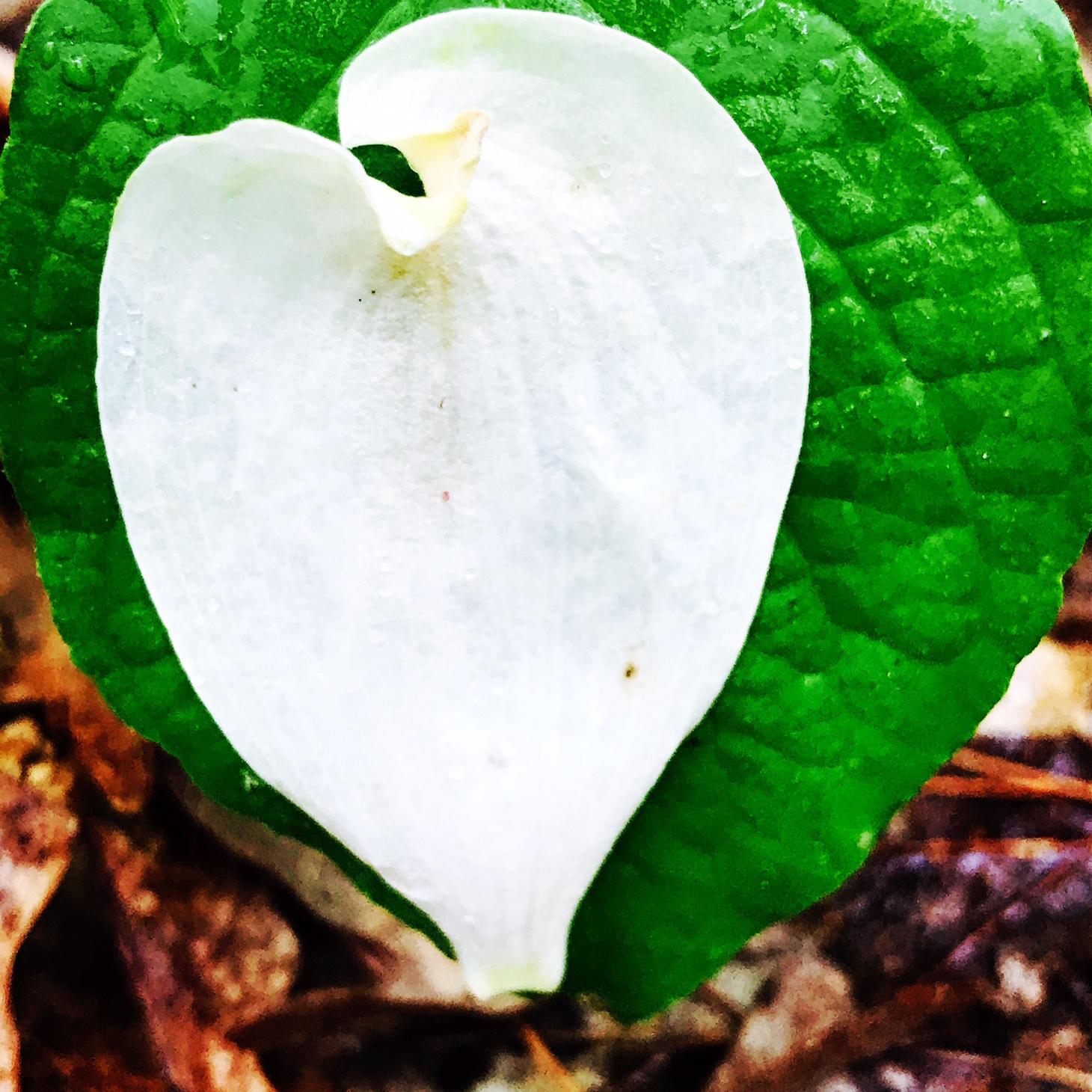 Dogwood petal on leaf