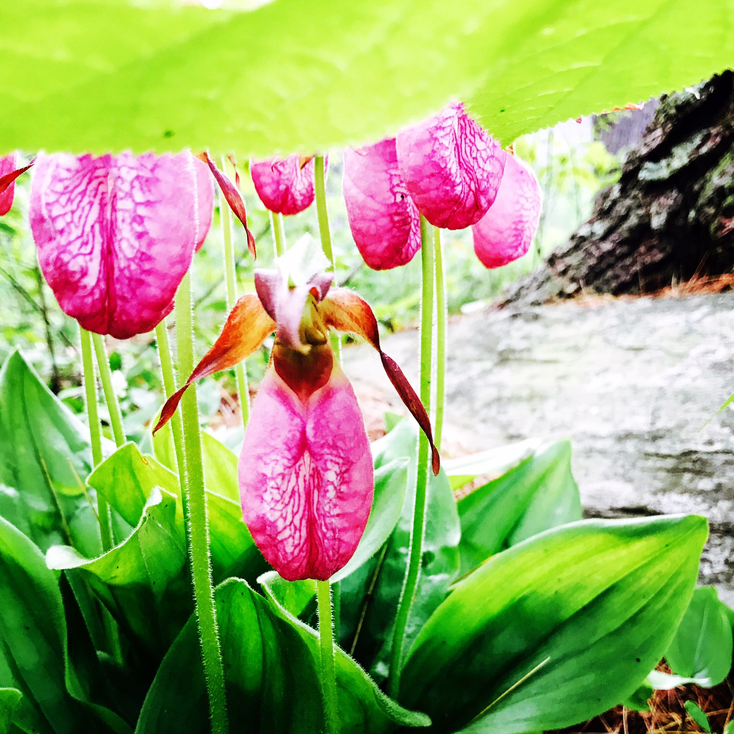 Lady Slippers, Maine Woods