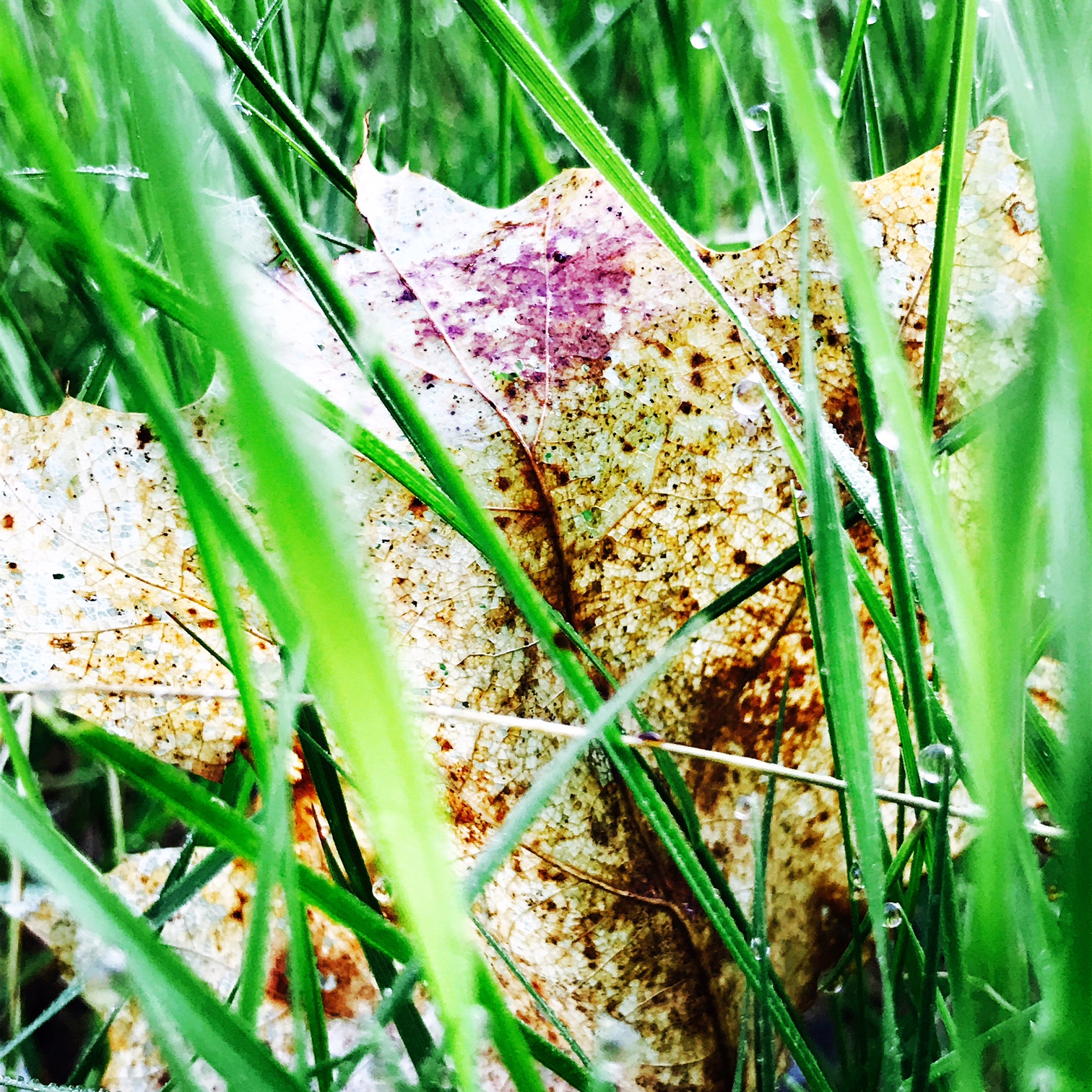 leaf in grass.JPG