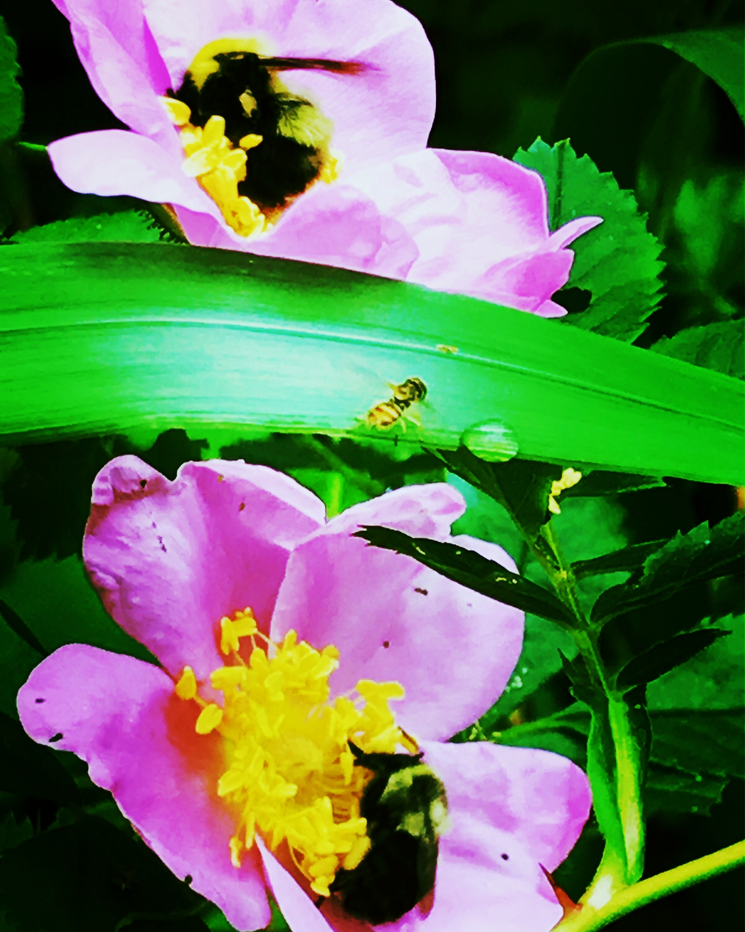 Three Bees in the Roses