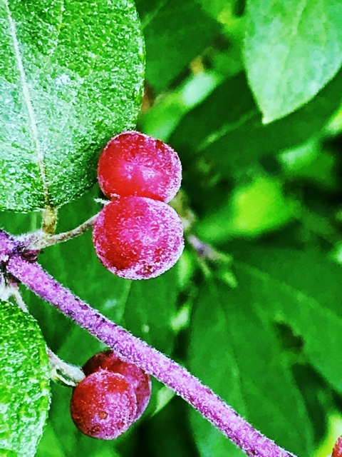 Honeysuckle Berries in June