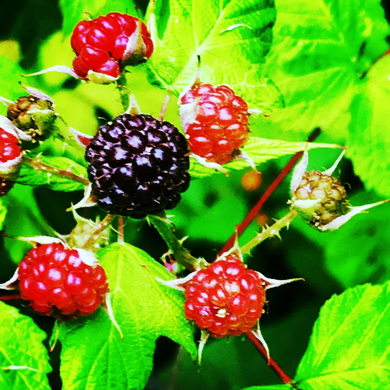 Black Raspberries in the Meadow