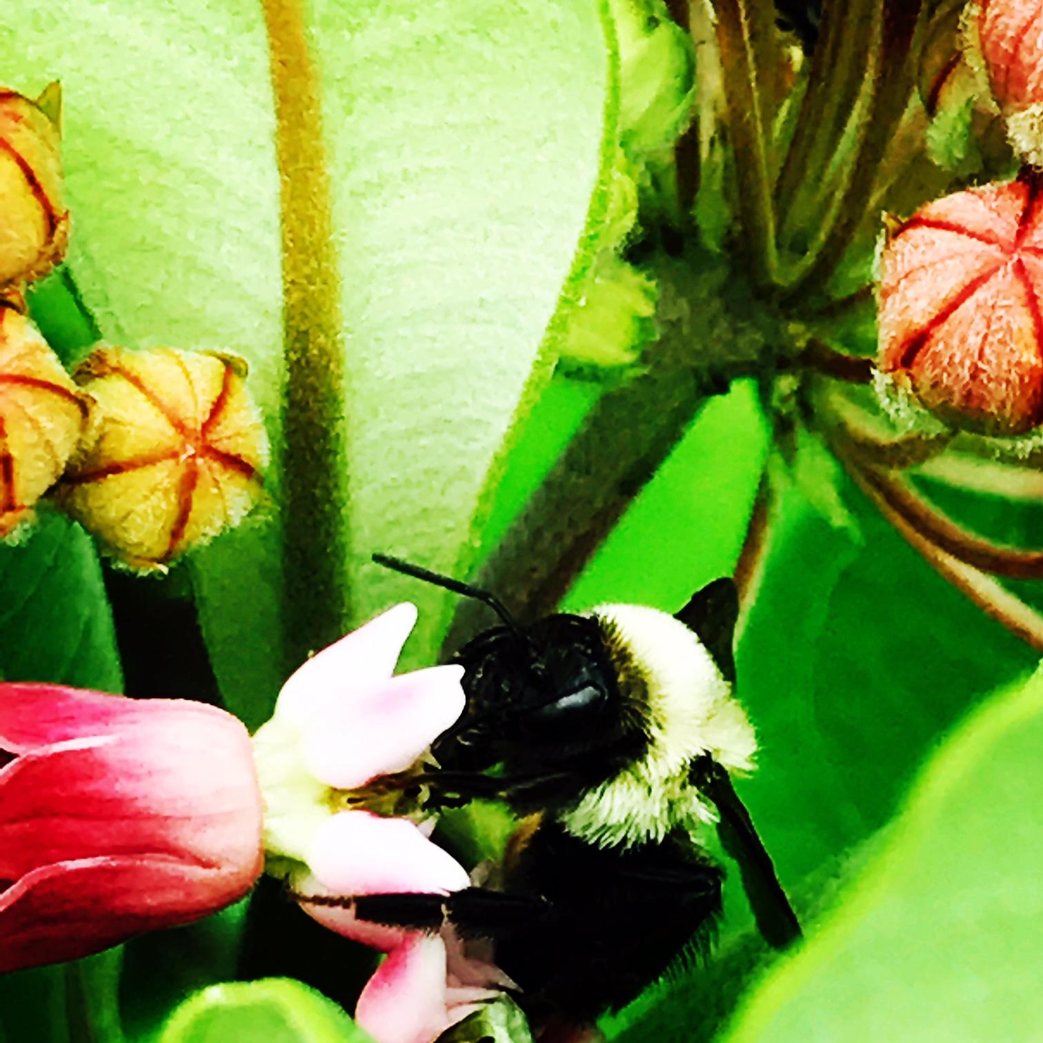 milkweed bee.JPG