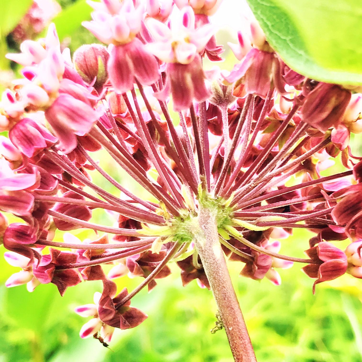 milkweed meadow morn.JPG