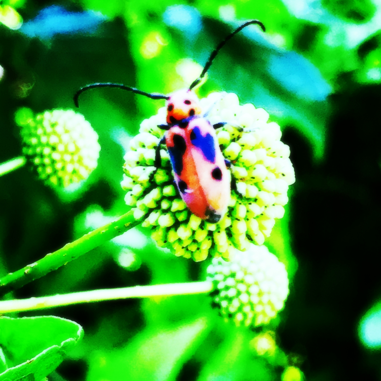 Bug on Button Bush, Cephalanthus occidentalis