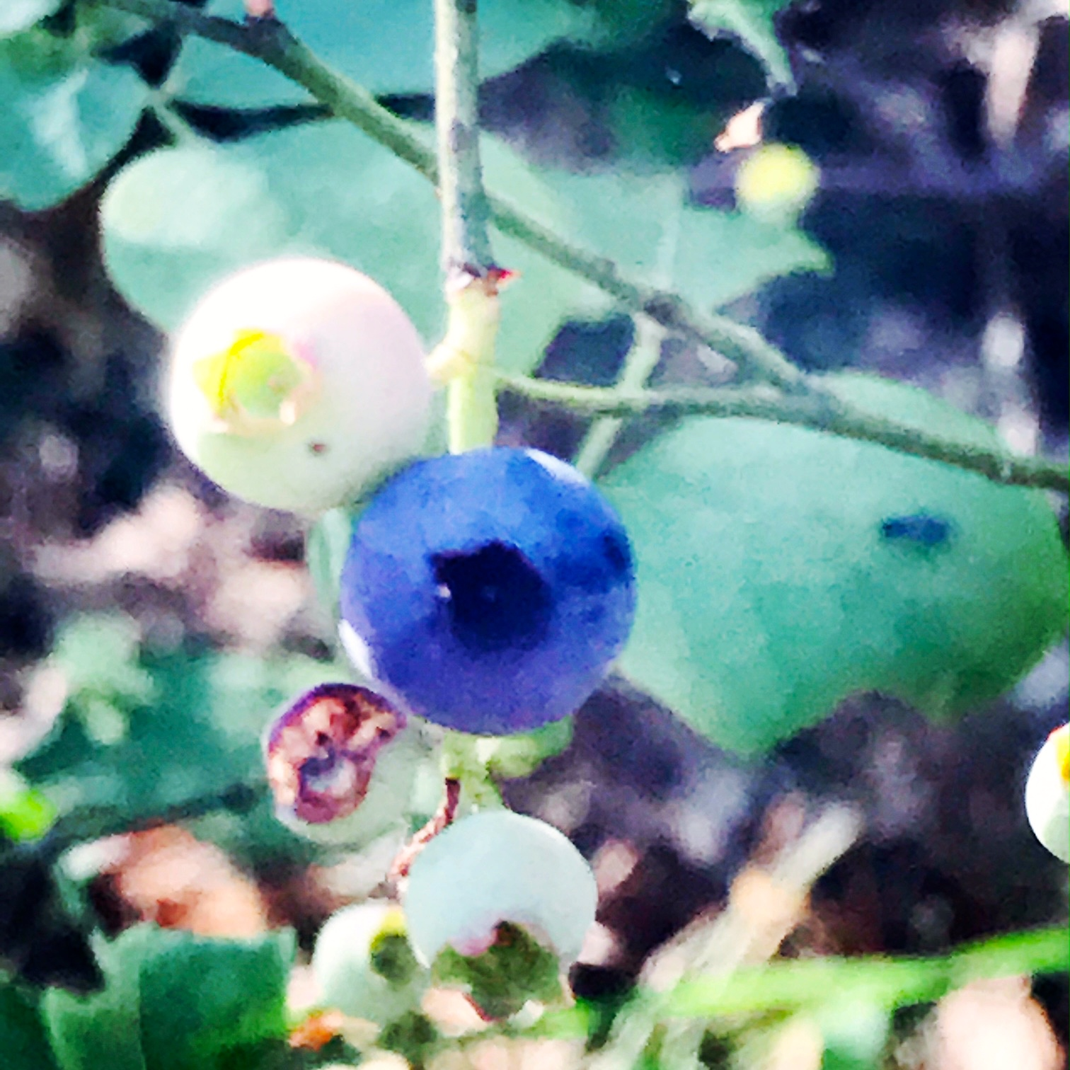 Wild blueberries ripening
