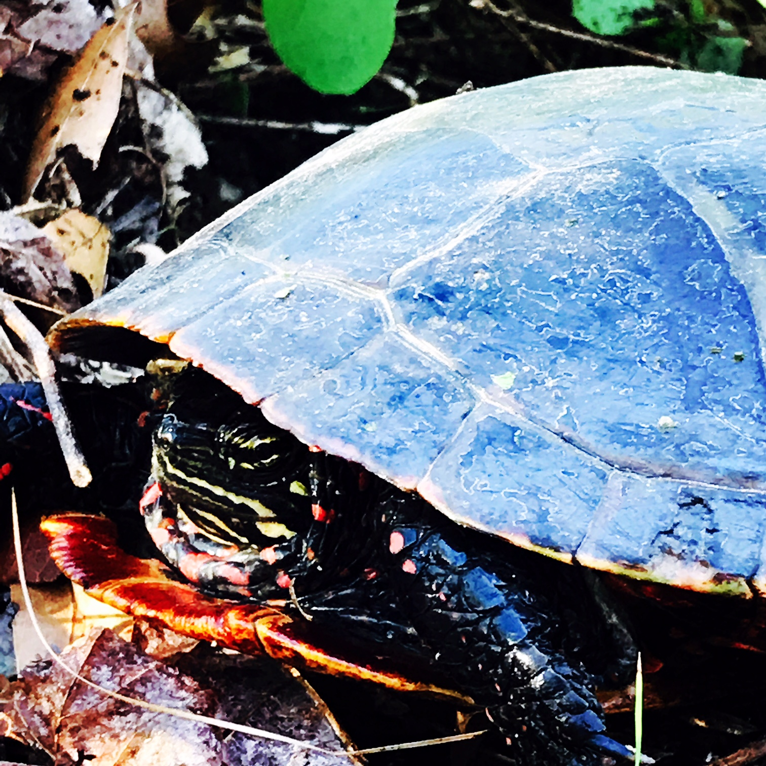Trickster - Painted Turtle laying her eggs