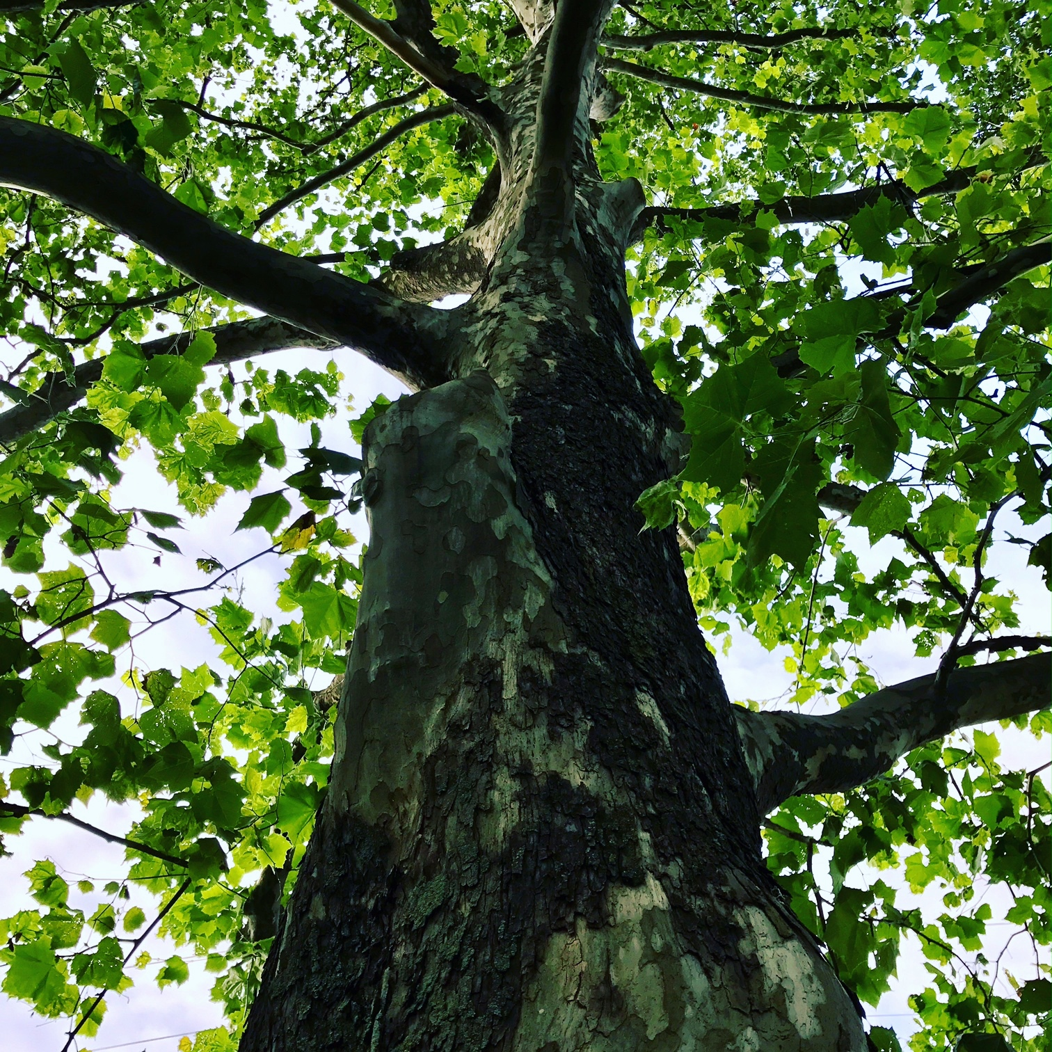 Sycamore at Muhlenberg College, Chew Street