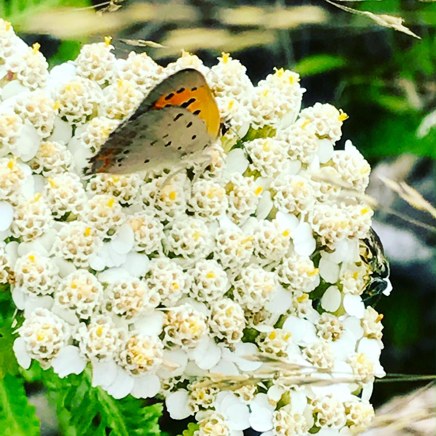 Butterfly on Yarrow, Menemsha Beach