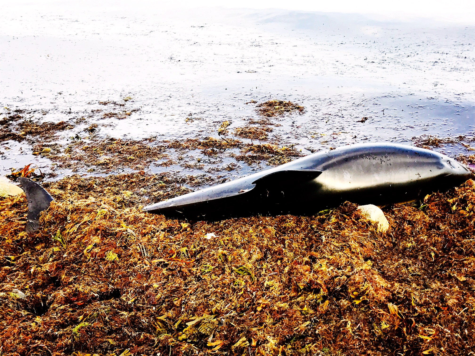 Atlantic White-Sided Dolphin, Great Rock Bight, Martha's Vineyard Morning