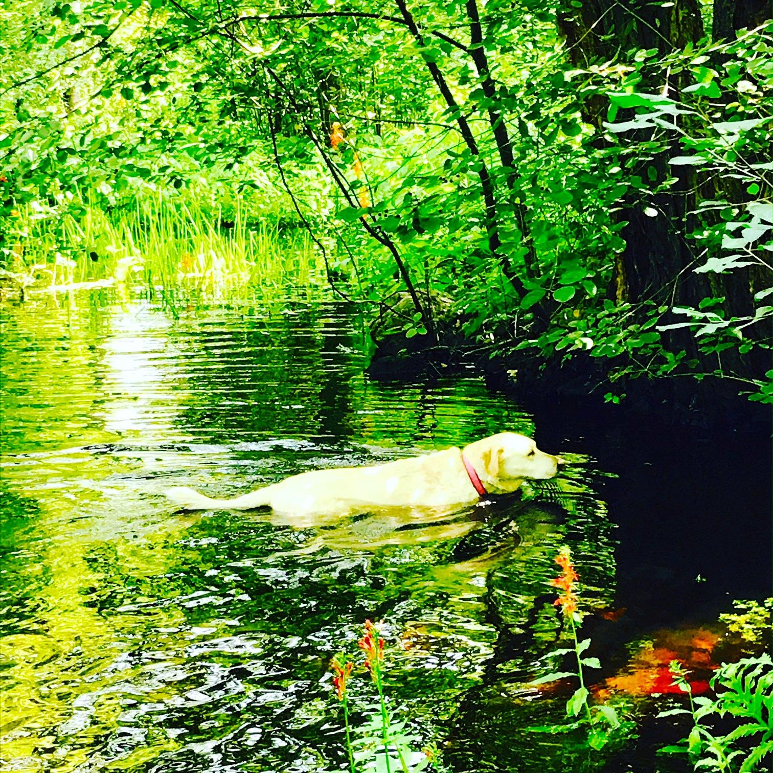 Suzi swimming in the brook