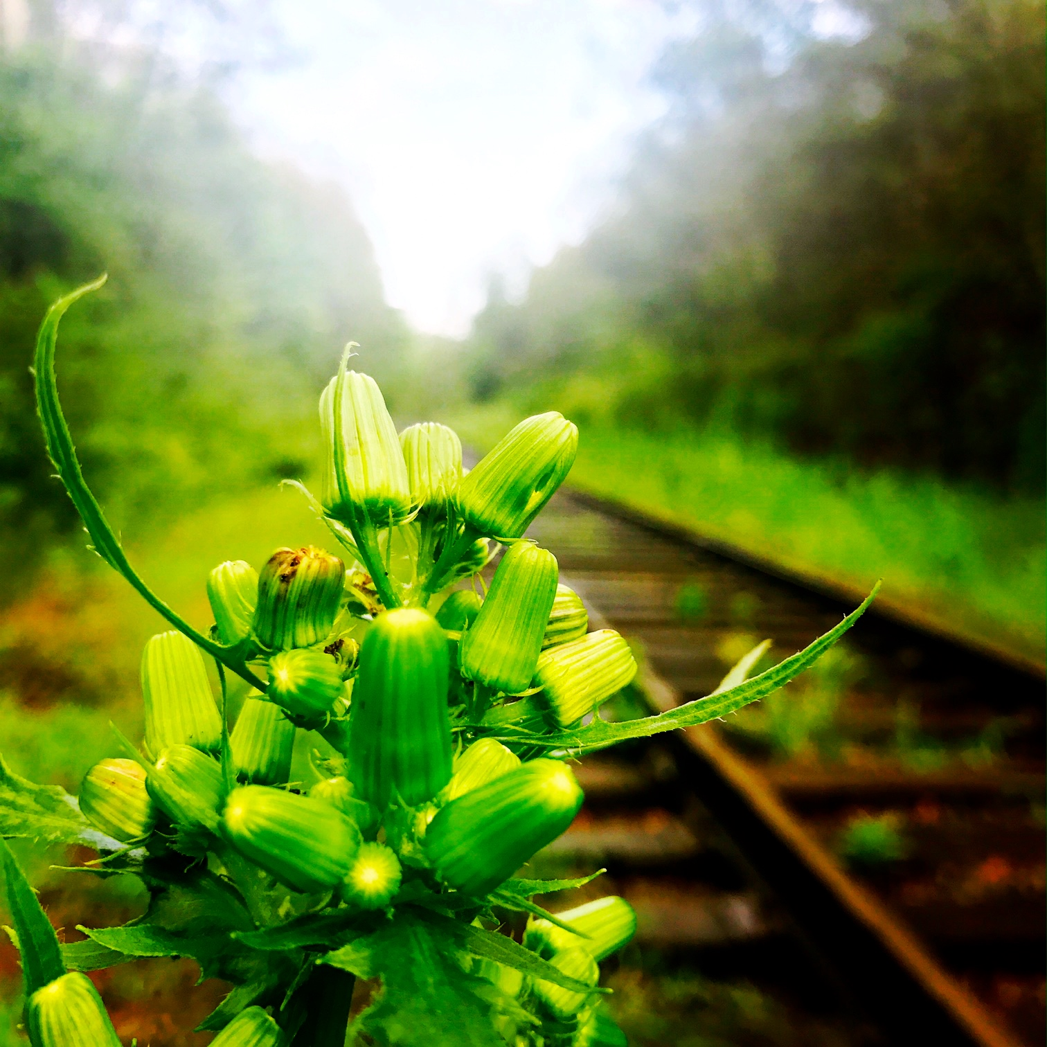 Evening Primrose on the Railroad Tracks