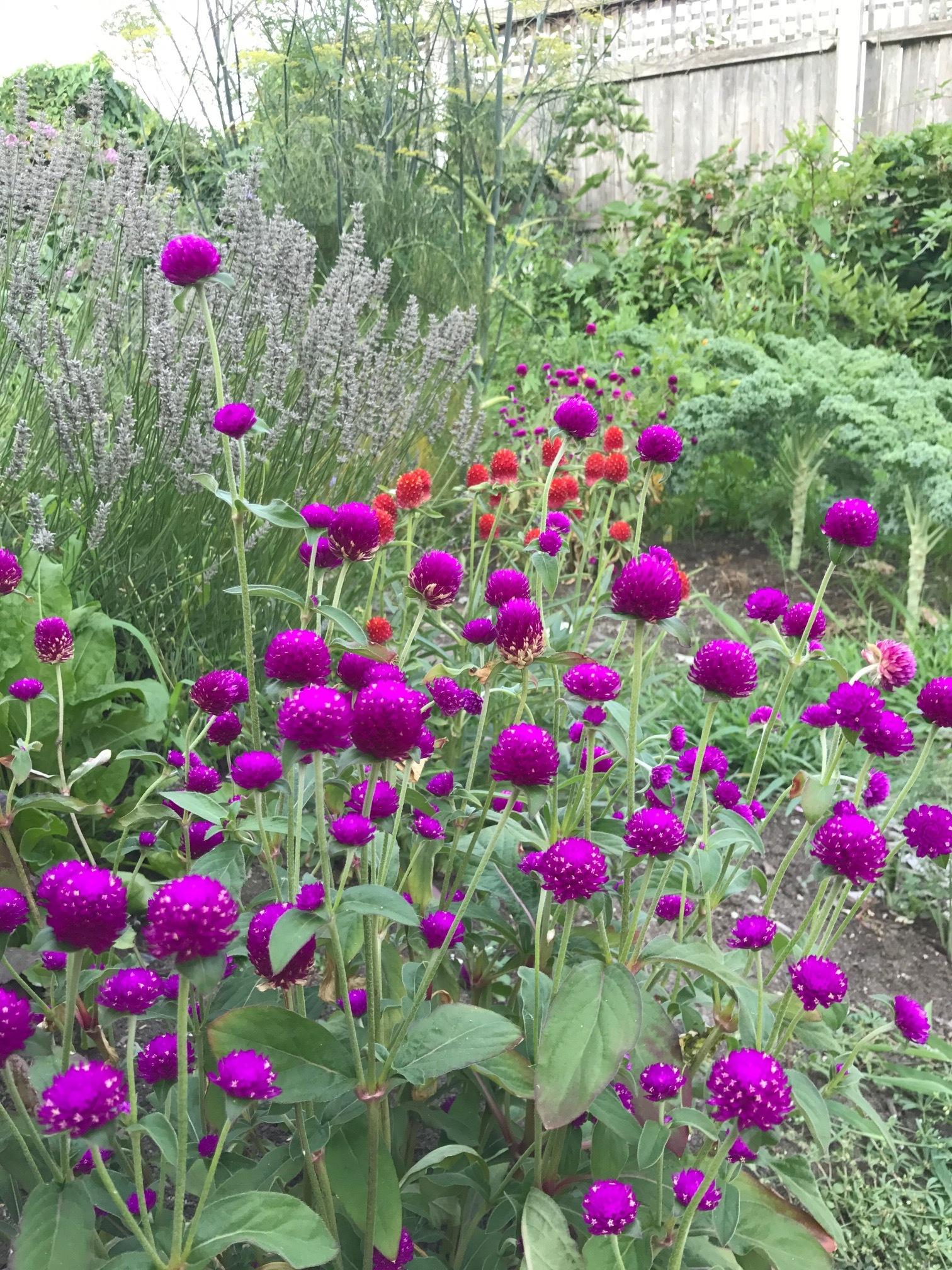 purple splendor.JPG