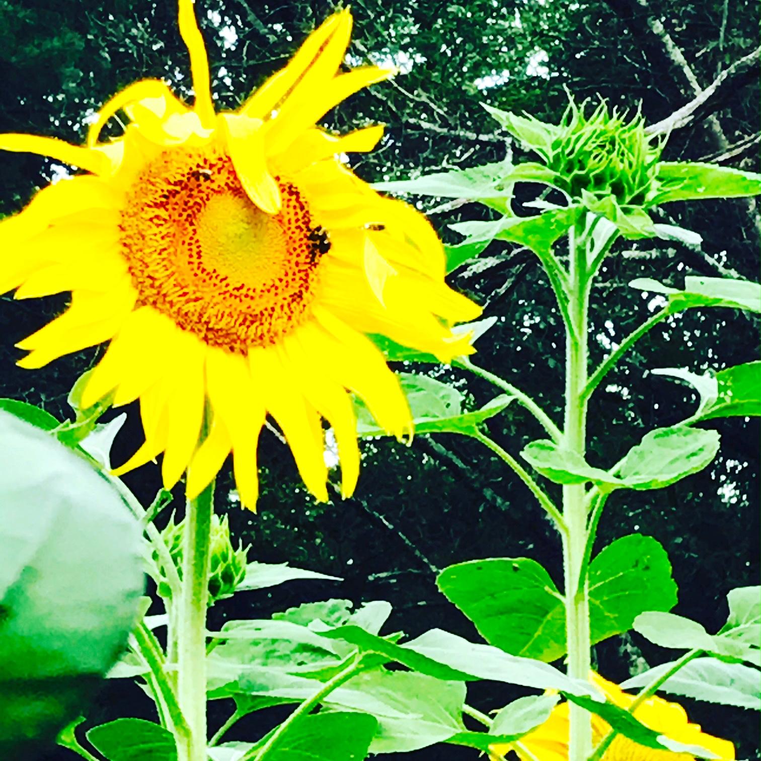 perri's sunflowers.JPG