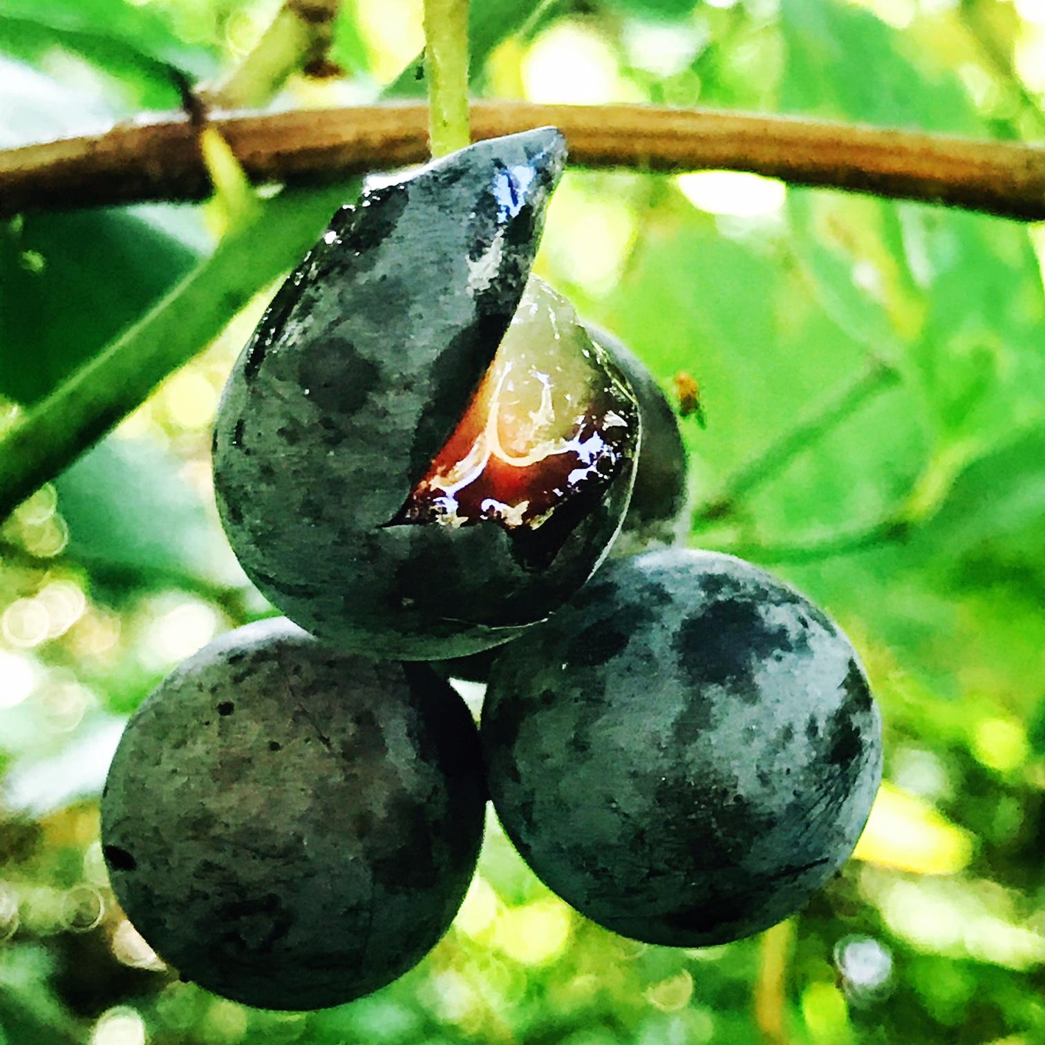 Wild Grape Juice