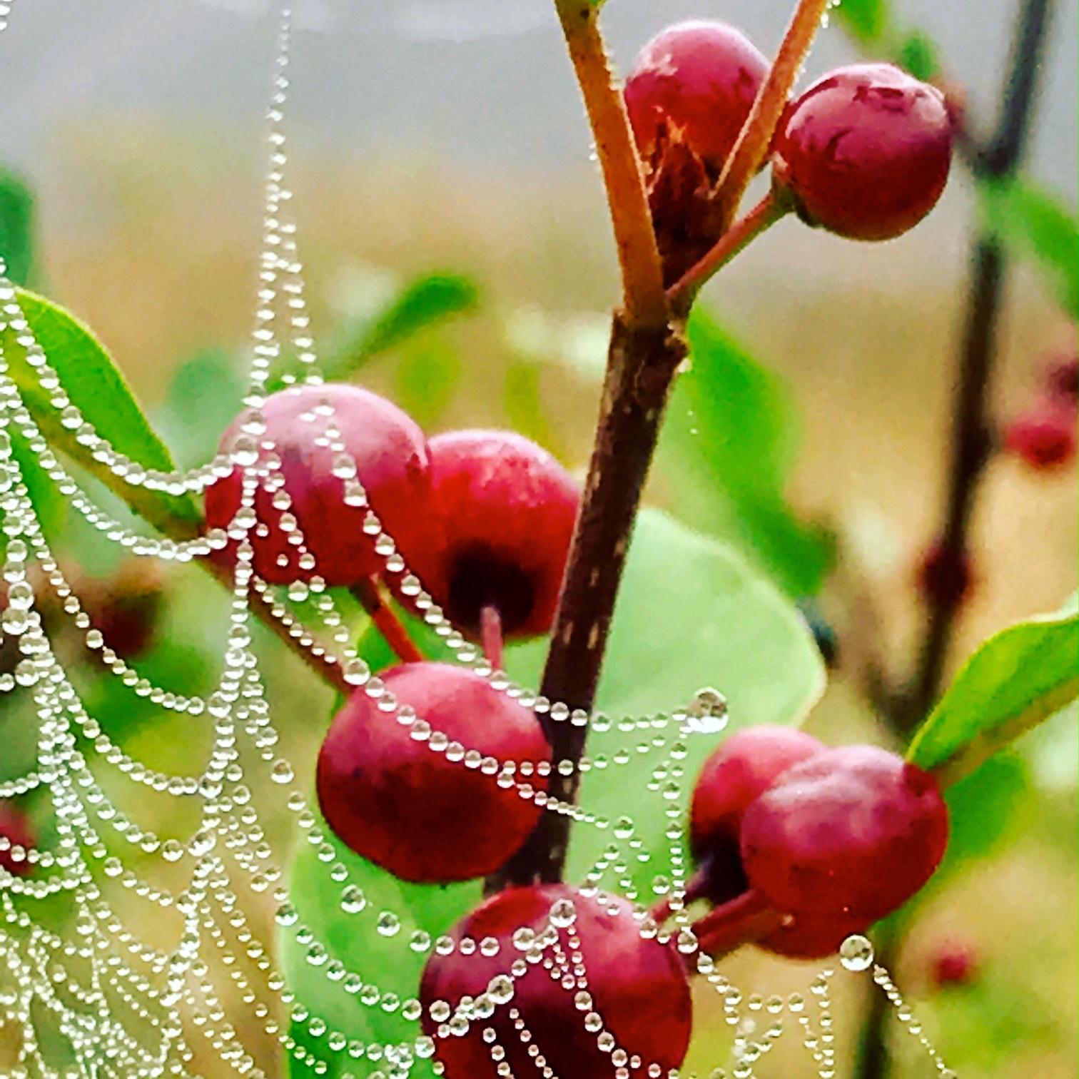 Berries in Morning Web